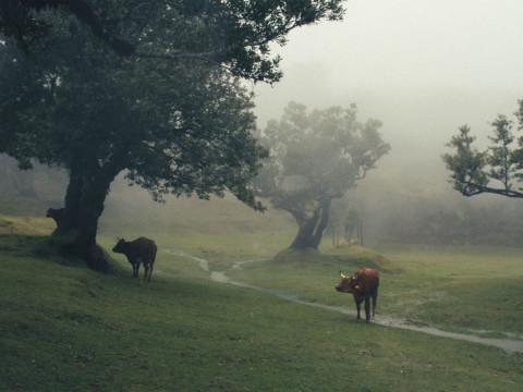 CowsinMadeiraisland.