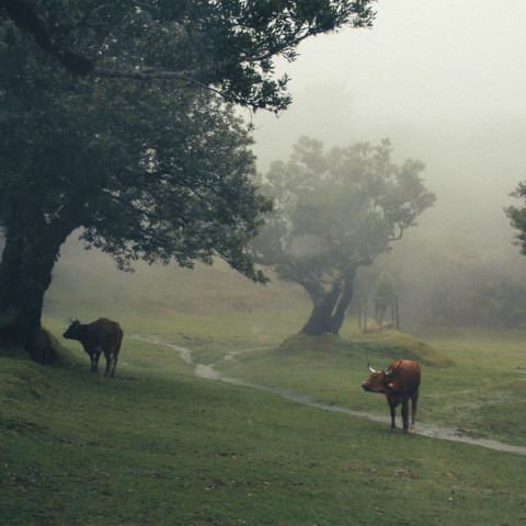 Cows in Madeira island.