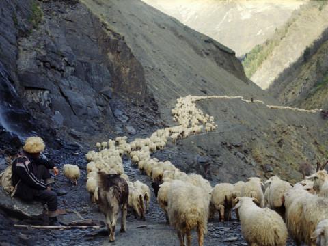 Elgudja with the herd
