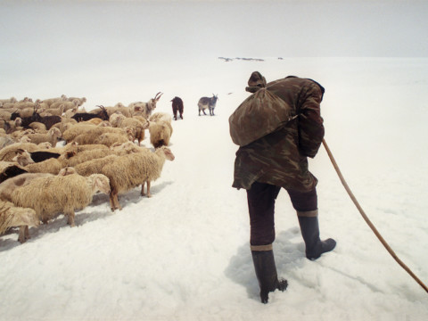 Tired Shepherd