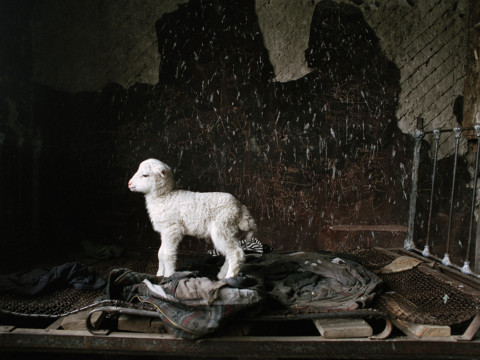 Lamb on the bed